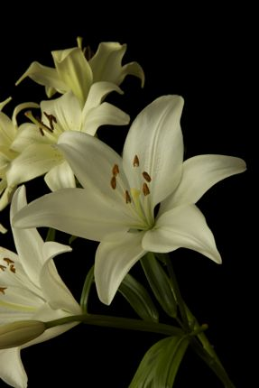 Lilies Close-up Photo