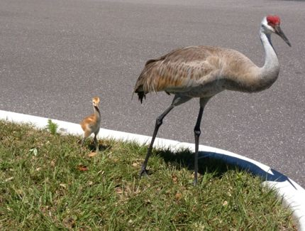 Mama and Baby Sand HIll Crane Photo