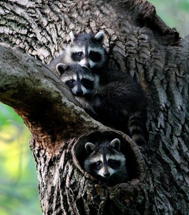 Three raccoons five more minutes with
