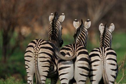 Three zebras five more minutes with