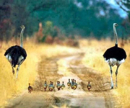 Ostrich mother, father, and babies five more minutes with website link